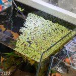 浮草増殖とプレコ